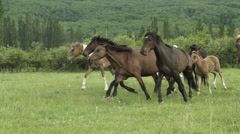 Herd Of Horses Running On The Field Stock Footage