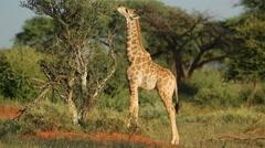 Feeding giraffe, African wildlife safari, South Africa - stock footage