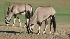 Gemsbok antelopes, safari, Kalahari desert, South Africa Stock Footage