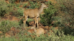 Kudu antelopes in natural habitat - stock footage