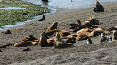 A group of seals on the beach at Valdes Peninsula Stock Footage