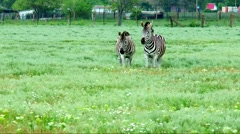 Zebras  live in the steppe next to a farm Stock Footage