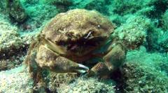 Sponge Crab (Dromia personata). Stock Footage
