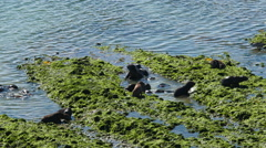 A group of seals playing in the water at Valdes Peninsula Stock Footage