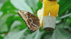 Tropical butterfly feeding Stock Footage
