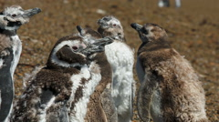 A group of Magellanic penguin chicks on the beach at Valdes Peninsula Stock Footage