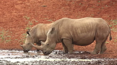 White rhinoceros and calf drinking water, African widllife, South Africa Stock Footage