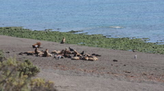 Wide shot of a group of seals on the beach at Valdes Peninsula Stock Footage