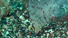 Peacock worm (Sabella pavonina). Stock Footage