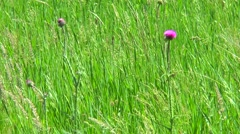 Thistle flower among the grass Stock Footage