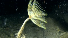 European fan worm (Sabella spallanzanii). Stock Footage