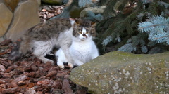 Mating cats outdoor - stock footage