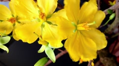 Gentle yellow flowers of peach tree for celebration of Lunar New Year Stock Footage