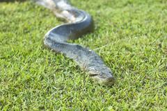 anaconda sleeping on green grass - stock photo