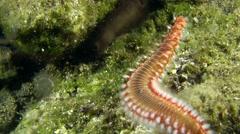 Bearded fireworm (Hermodice carunculata). Stock Footage