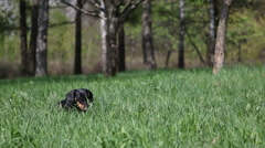 Playful, happy and funny Dachshund eating grass on nature. Stock Footage