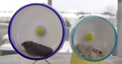 Two dwarf hamsters running side by side , in tandem, on separate wheels. Stock Footage