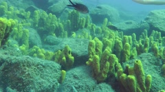 Sea fish swim on the background of Yellow tube sponge. Stock Footage