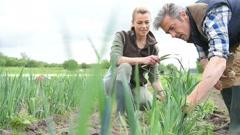 Farmer people collecting leeks in vegetable field Stock Footage