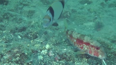 Marine fish Red mullet digs the sandy bottom. Stock Footage