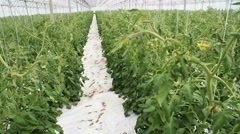 Tomato plants in greenhouse Stock Footage