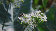 Bumblebee on a flower onion - stock footage
