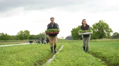 Farmers carrying trays of radishes in field Stock Footage