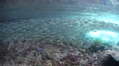 Schooling Silversides Swimming in Raja Ampat Stock Footage