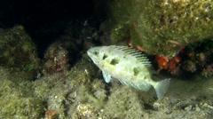 Marine fish Marbled spinefoot (Siganus sp.). Stock Footage
