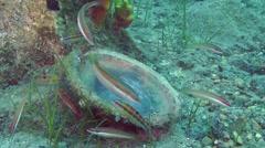 A flock of Mediterranean rainbow wrasse (Coris julis). Stock Footage