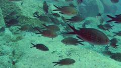 A large flock of Damselfish (Chromis chromis). Stock Footage