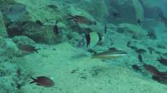 Various marine fish on the background of the rocky bottom. Stock Footage