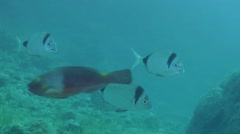 Marine fish Common two-banded sea bream (Diplodus vulgaris) swims slowly, then Stock Footage