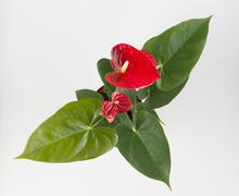 Anthurium a flowering plant Stock Photos