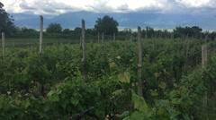 A Vineyard in Alazani Valley Georgia HD Stock Footage