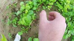 Picking radishes Stock Footage