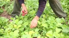 Person harvesting radishes Stock Footage