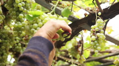 Man harvesting grapes Stock Footage