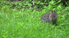 Baby rabbit eating clover Stock Footage