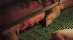 Pig farm in Eastern Europe Stock Footage