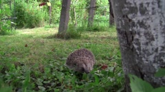 Forest Hedgehog who gather ball when danger approaches him Stock Footage