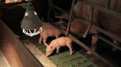 pig farm in Eastern Europe - stock footage