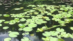 Water-Lily Leaves On Pond HD - stock footage