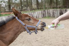 Foals fed Stock Photos
