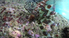 Lionfish in Shallow Water Stock Footage