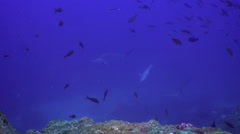 Hammerhead Shark swims in blue sea search of food. Stock Footage