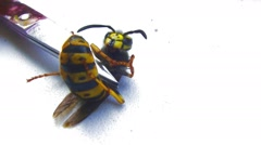 Aggressive wasp sting is trying to stick to iron object. Experiments on the wasp - stock footage