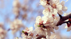 Apricot blossom. Closeup. Apricot flowers on branch of apricot tree Stock Footage
