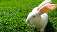 White rabbit on green grass Stock Footage