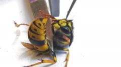 Aggressive wasp sting is trying to stick to iron object. Experiments on the wasp Stock Footage